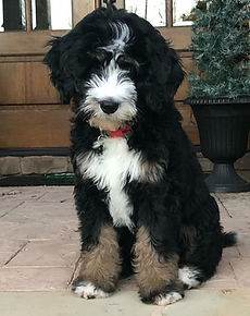 Traditional tricolor F1 standard bernedoodle