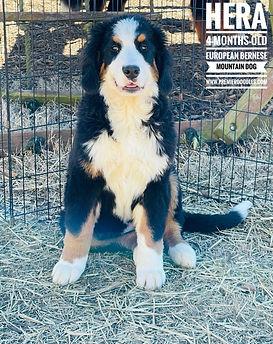 Hera bernese mountain dog