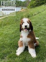 Sable F1bb Standard Bernedoodle