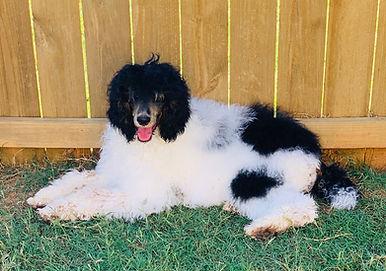 Tricolor Standard Poodle Premier Doodles