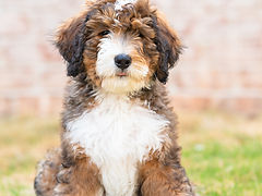 High quality best european bernedoodle puppies