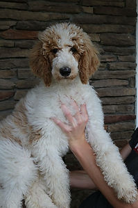Red and white parti Standard Poodle Premier Doodles