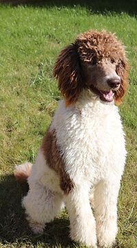 Brown and white parti standard poodle