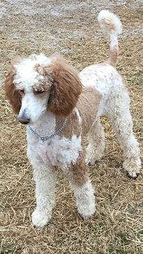 Red and white parti standard poodle