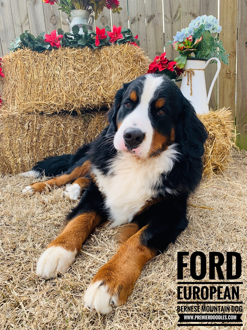 Ford (European Bernese Mountain Dog)