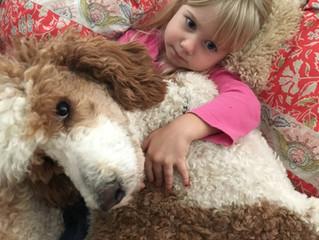 Premier Bernedoodle Puppies Due in December 2016!