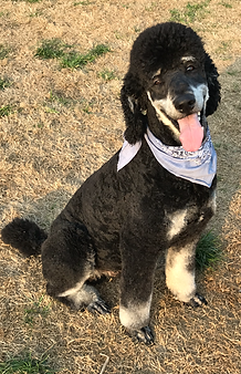 Black and tan phantom standard poodle
