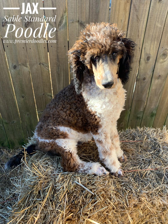 Sable Standard Poodle Premier Doodles