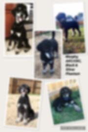 Black and tan phantom Standard Poodle Premier Doodles