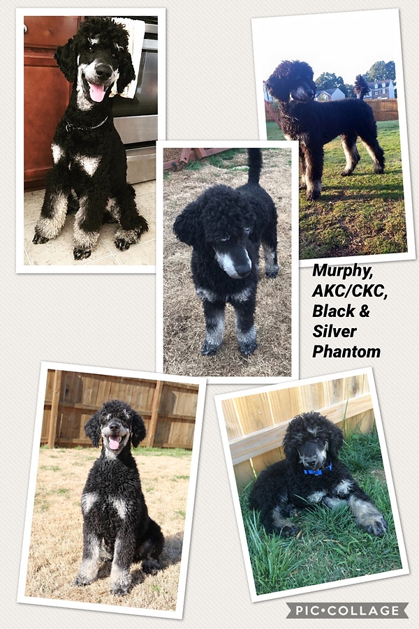 Black and tan phantom Standard Poodle Premier Doodles