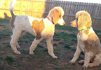 Red and white parti standard poodles Premier Doodles