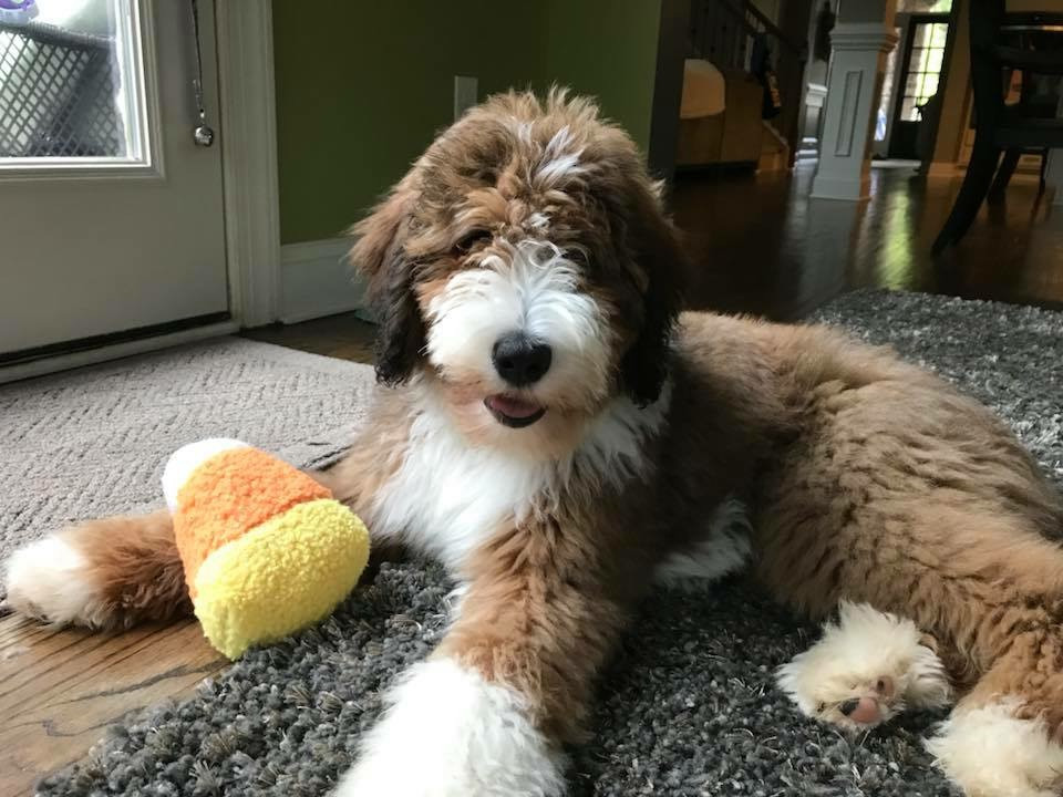 Premier Bernedoodles | Dr  Carmichael | South Carolina