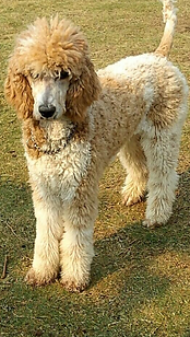Red and white tuxedo standard poodle