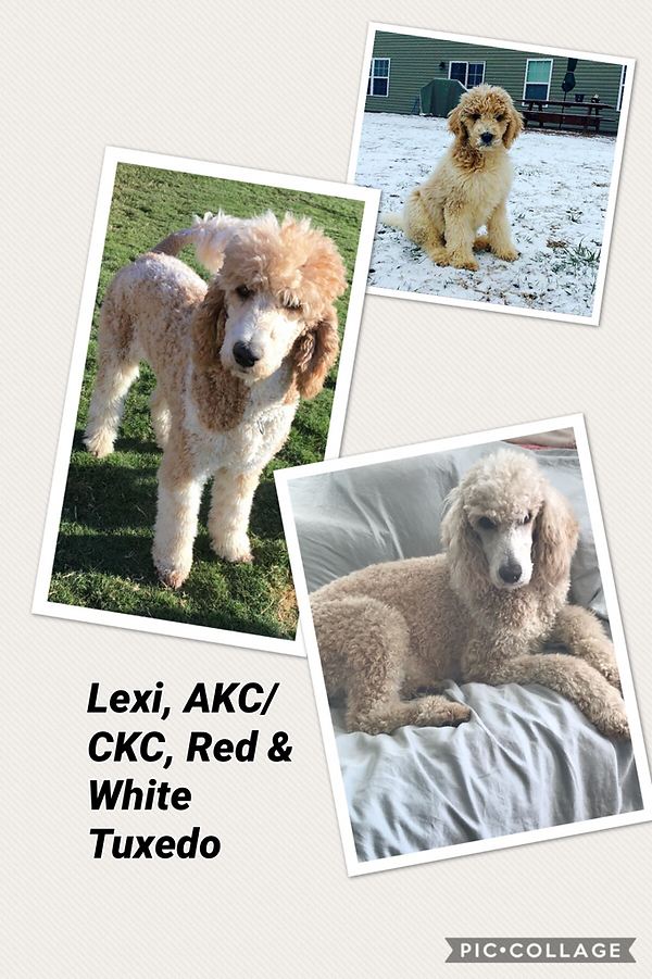 Red and white tuxedo Standard Poodle Premier Doodles