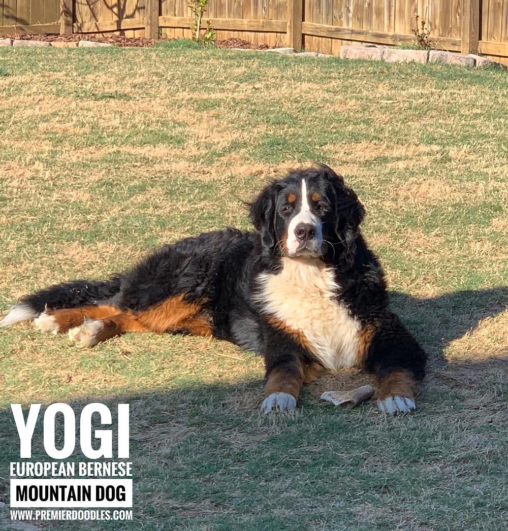 Yogi (European Bernese mountain dog)
