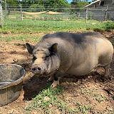 piggy (3) (1242x931).jpg