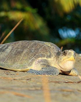 Turtle Nesting