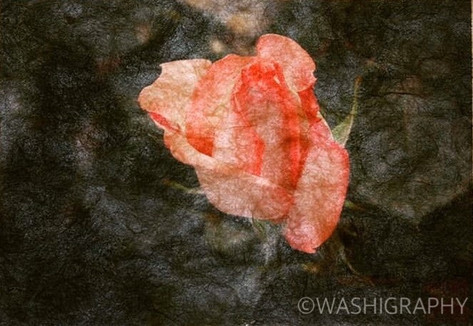 Rose, Kyoto Botanical garden 薔薇 京都府立植物園
