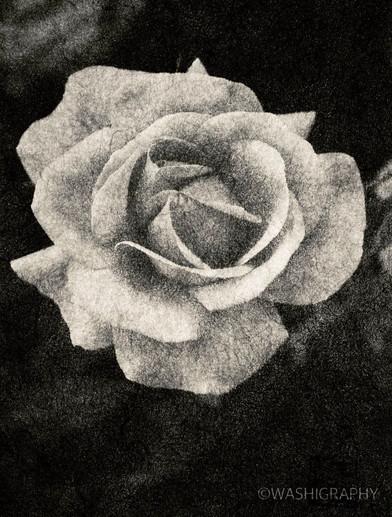 Rose, Kyto botanical garden, 薔薇 京都植物園