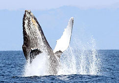 humpback hmb.jpg