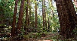 Loma Mar Redwoods.jpg