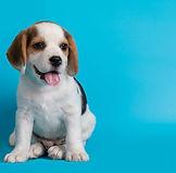 cachorros-beagles-buscando-algo_1150-181