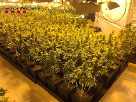 Els Mossos d'Esquadra desmantellen una plantació de marihuana en ple rendiment de 1.424 plantes valo