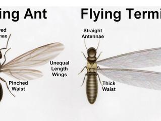 A Tricky Termite Look-a-Like