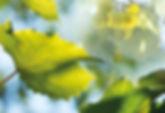Feuille de vigne brume 186240086.jpeg