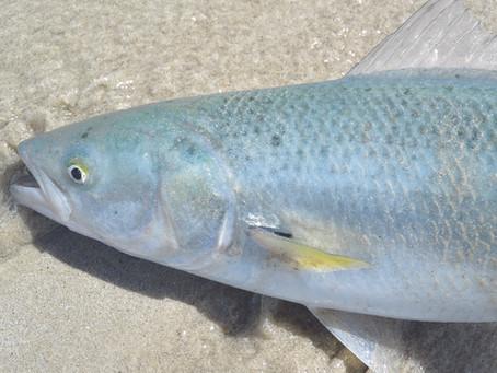 Utilising Australian Salmon