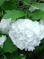 viorne-obier-boule-de-neige-roseum-.jpg