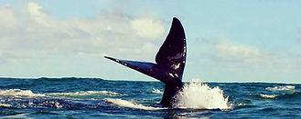ทัวร์เคปทาวน์ดูปลาวาฬ Lucky Lion Tours