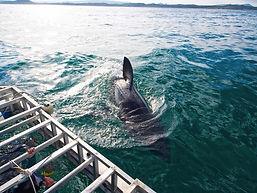 ทัวร์เคปทาวน์ดูปลาฉลาม Lucky Lion Tours