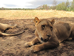 ทัวร์เคปทาวน์แอฟริกาใต้ราคาถูก Lucky Lion Tours