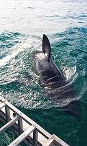 ทัวร์เคปทาวน์แอฟริกาใต้ดูปลาฉลาม
