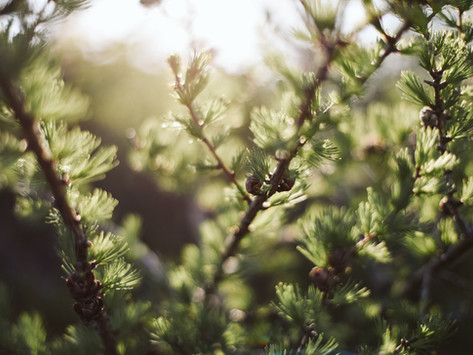 Larch does smell—but only at just the right time—and it's magical