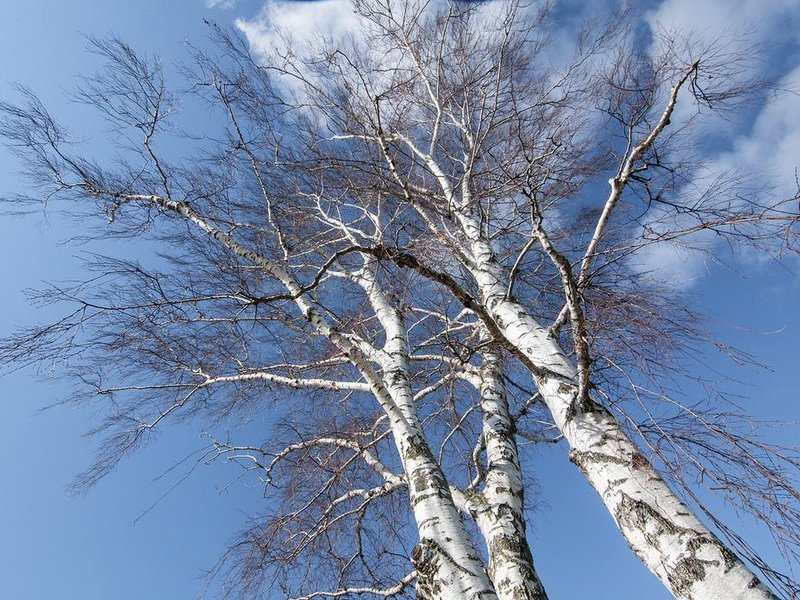 birch_tree.jpg__800x600_q85_crop
