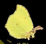 gonepteryx-rhamni-1154114_1920.png
