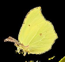 gonepteryx-rhamni-1154114_1920_edited.pn