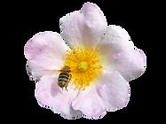 Biene auf Wildrose_Klaus Wanninger (1).p