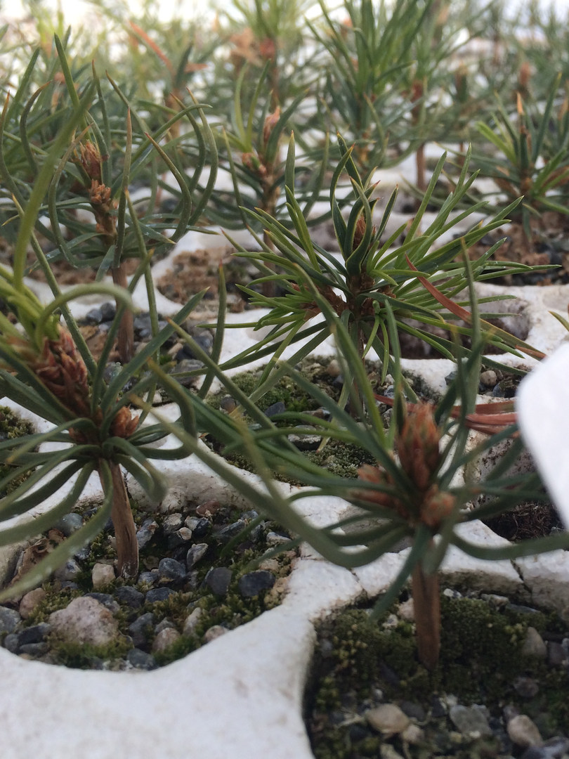 Whitbark Pine seedlings