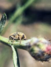 Knapweed Root Weevil, Cyphocleonus achates