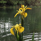Yello Flag Iris