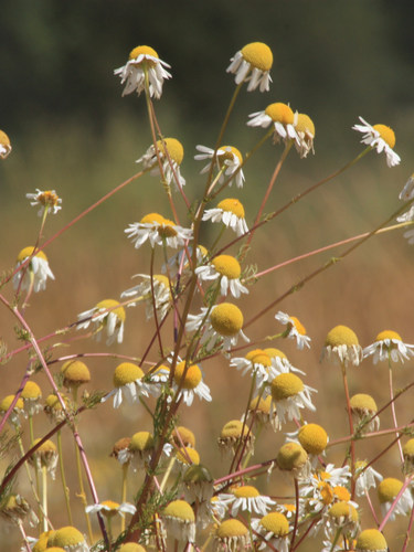 Scentless Camomile