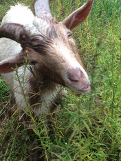 Goat eating Common Toadflax