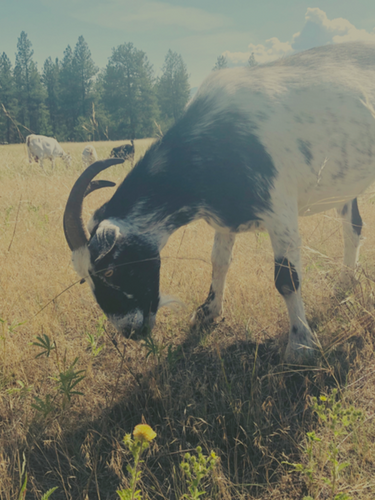 Invasive plant-eating goat