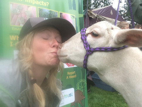 Goats eat weeds