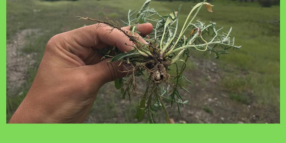 Practical Invasive Plant Identification (Cranbrook)
