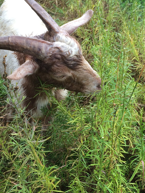 Goats eating toadflax