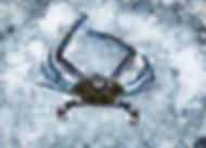 BlueSwimmerCrab.jpeg